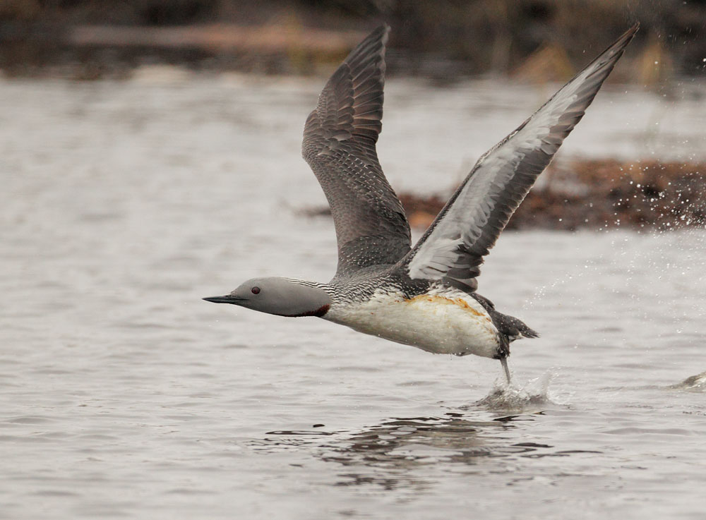Red-throated Loon, breeding plumage,
