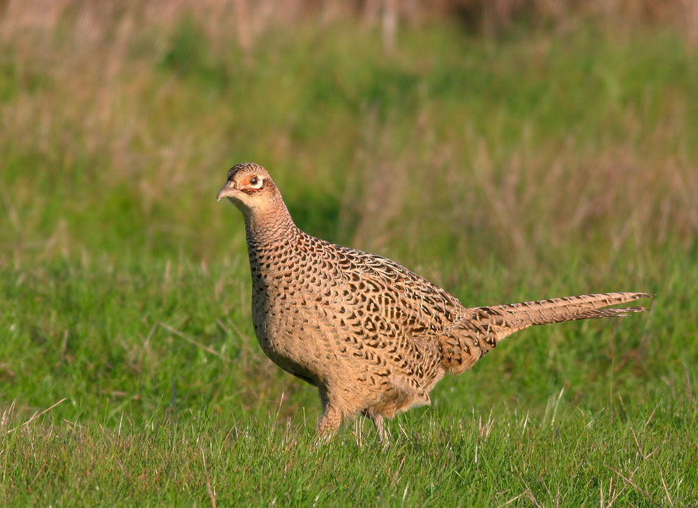 Ring-necked Pheasant, female, 2/11/06, Palo Alto Baylands