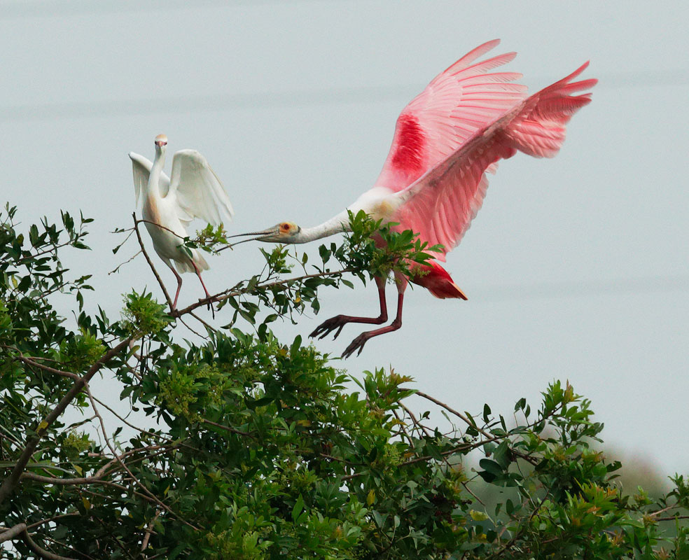 Roseate Spoonbill and Cattle Egret