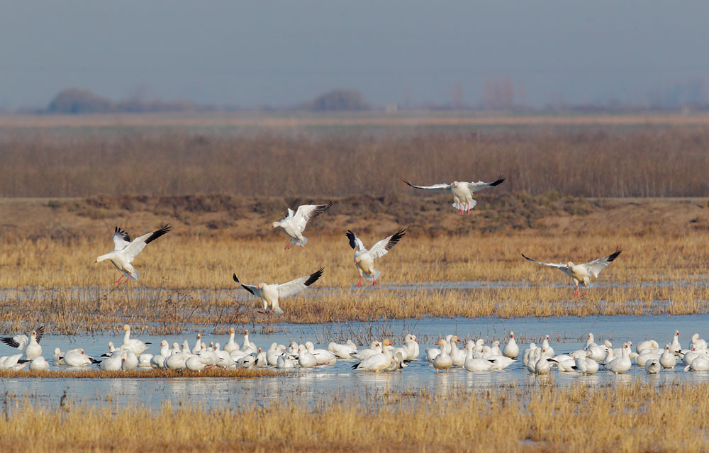 Snow Geese and Ross's Geese
