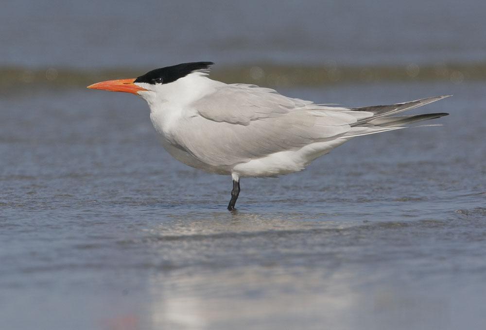 Royal Terns Caspian Tern  Sonoran Images