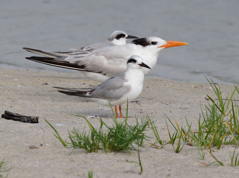Royal Tern and Forster's Terns