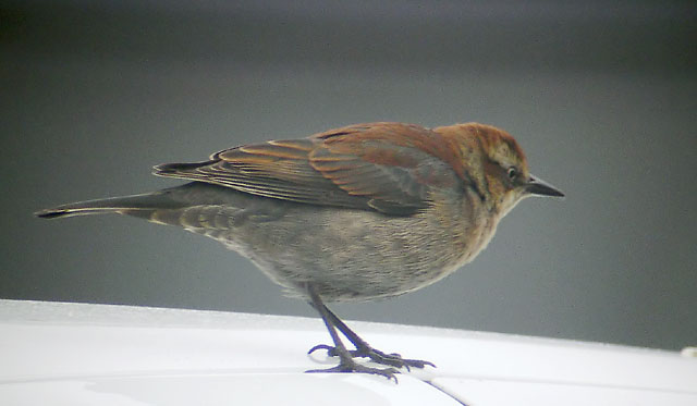 Rusty Blackbird, adult female winter, 1/19/03, Sunnyvale