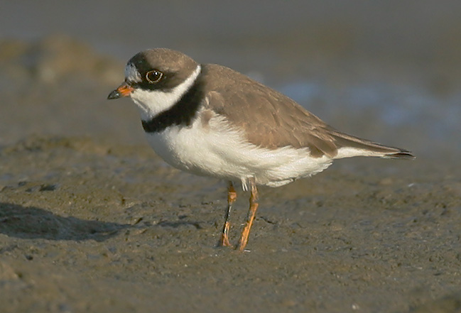 Semipalmated Plover, spring breeding plumage, 4/25/05, Palo Alto Baylands