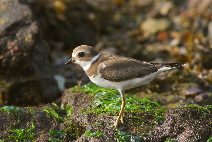 Semipalmated Plover, juvenile, 9/17/05, Lighthouse Park, New Haven, CT