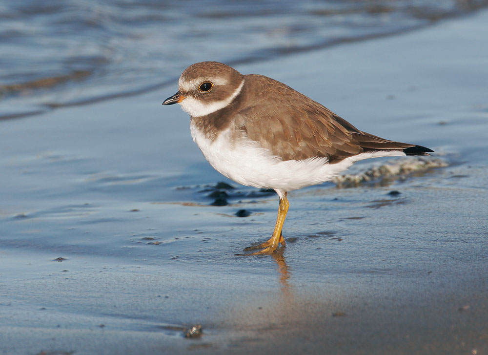 Semipalmated Plover, 10/8/07, Moss Landing Harbor, Monterey Co