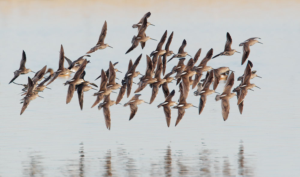 Short-billed Dowitchers, flying, 10/12/10, Radio Road, Redwood Shores, San Mateo Co