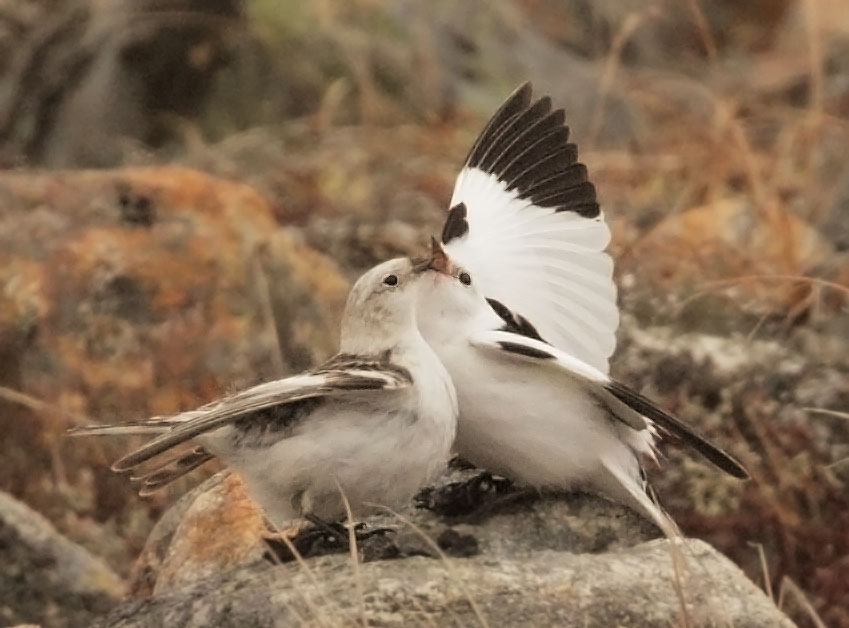 Snow Buntings, pair, mating display,               6/1/11, Teller Road, Nome, AK