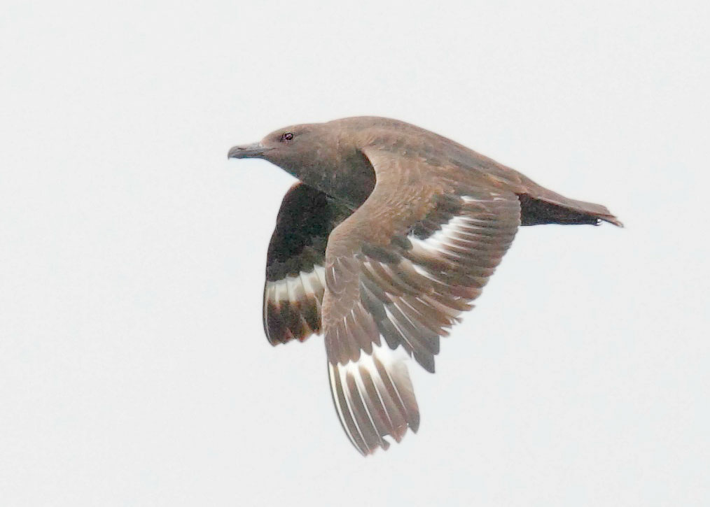 South Polar Skua