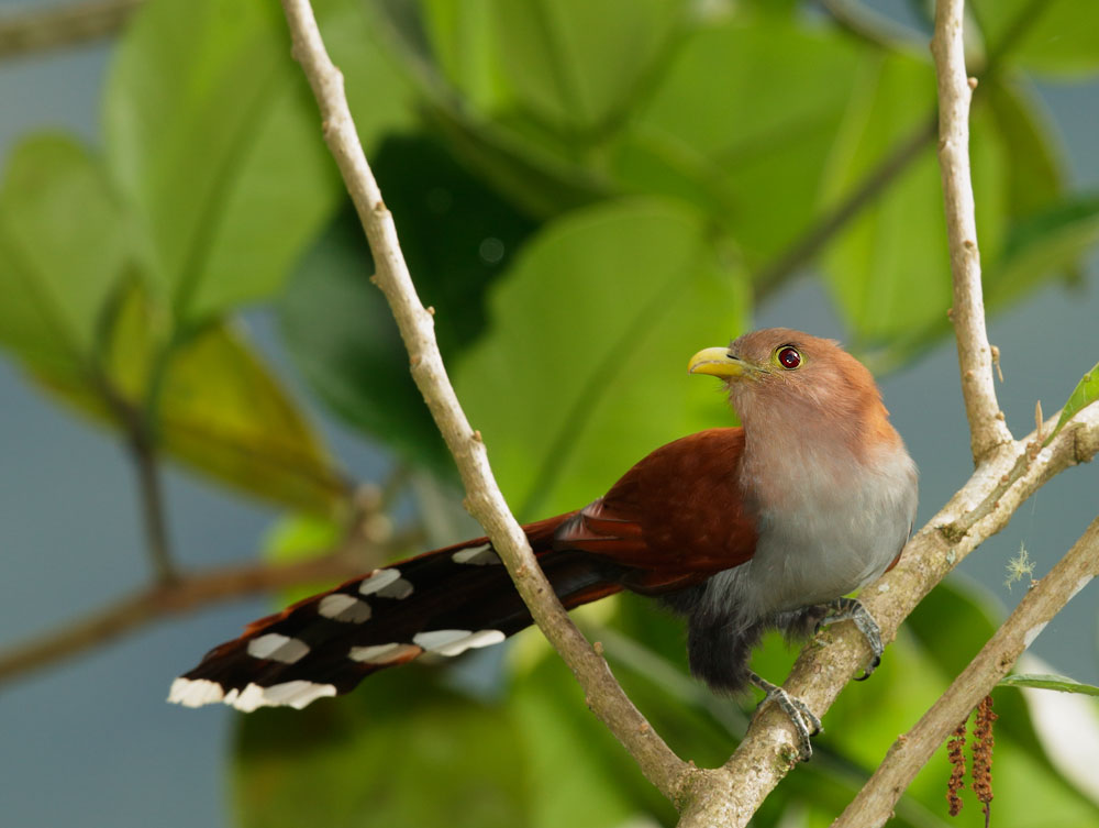 Squirrel Cuckoo SquirrelCuckoop