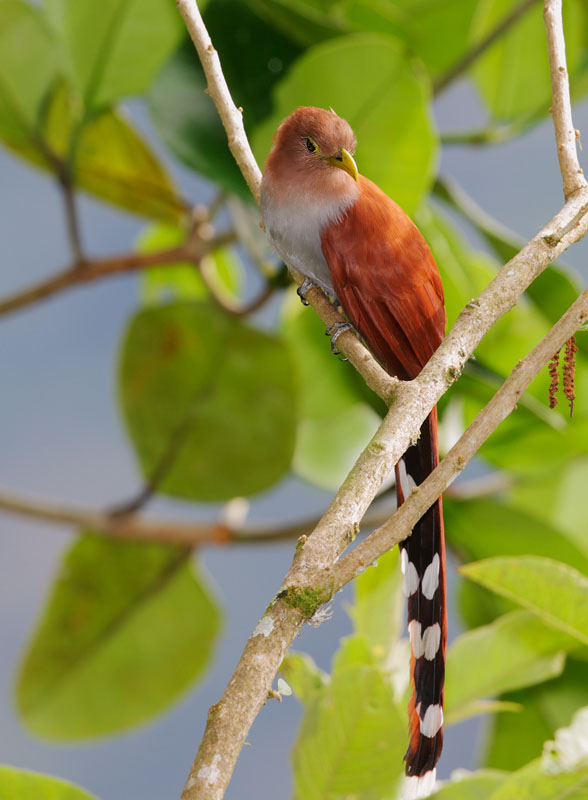 Squirrel Cuckoo Related Keywords &...