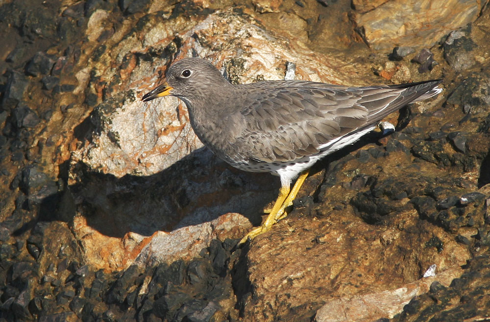 Surfbird, 12/18/04, Cliff House, San