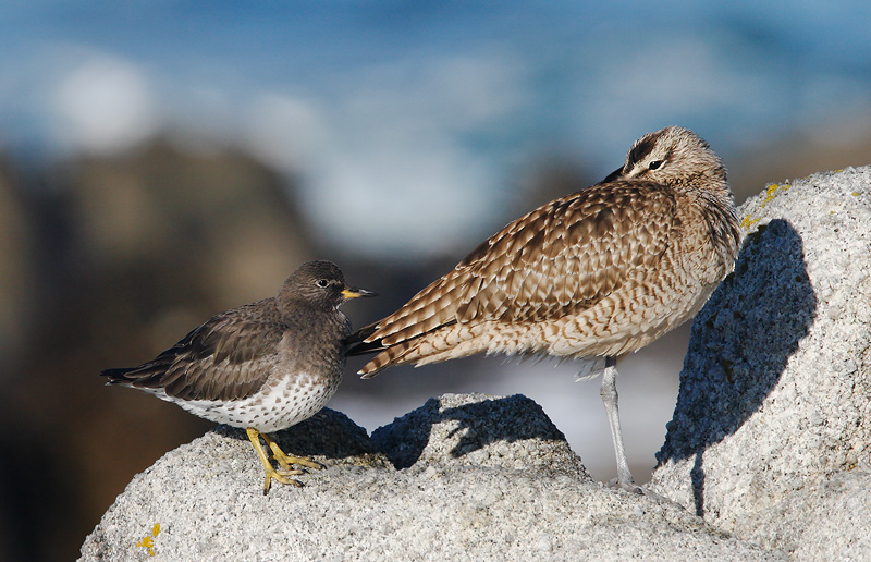 Surfbird and Whimbrel