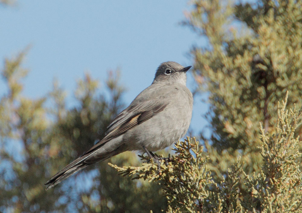 Townsend's Solitaire, 3/11/11, Eagle Lake off 139, Lassen Co