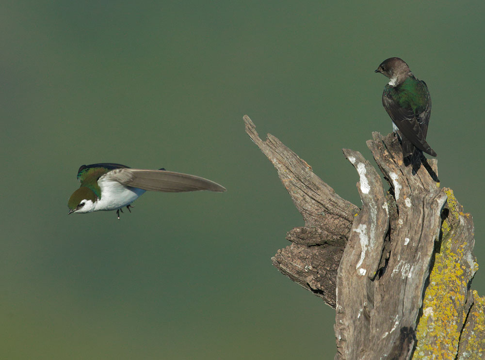 Violet-green Swallows