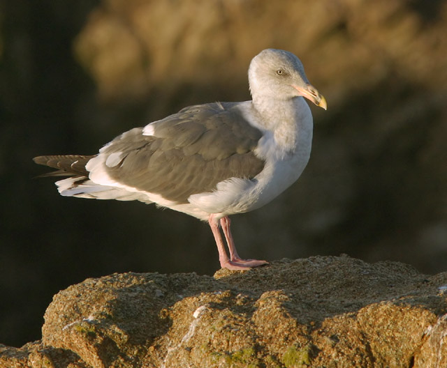 Western Gull, third winter, 1/13/04, Bodega Bay, Sonoma Co