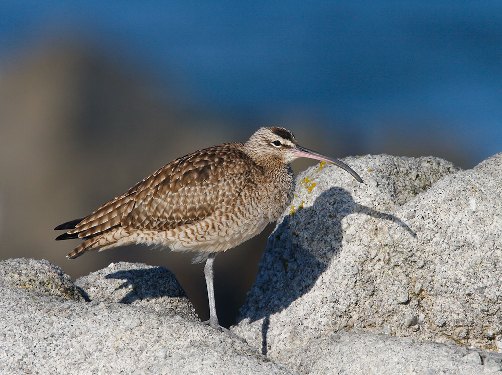 Whimbrel, 1/1/07, Point Pinos, Pacific Grove, Monterey Co
