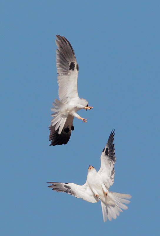 White-tailed Kites