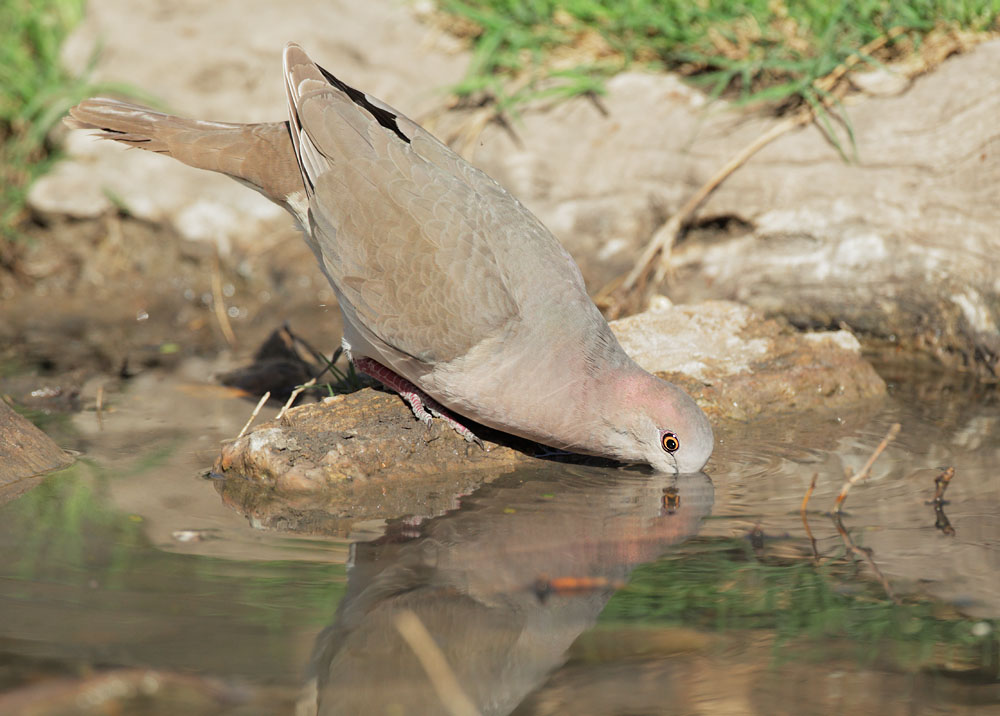 White-tipped Dove, drinking, 3/1/11, Ramirez Ranch, Roma, TX
