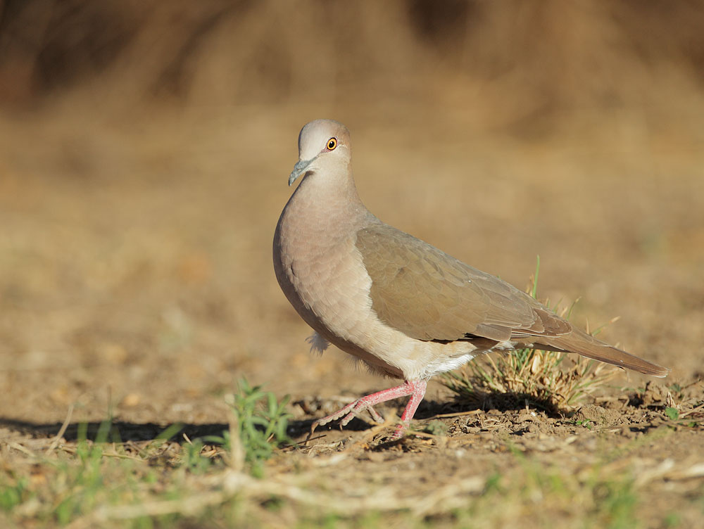 White-tipped Dove, 3/1/11, Ramirez Ranch, Roma, TX