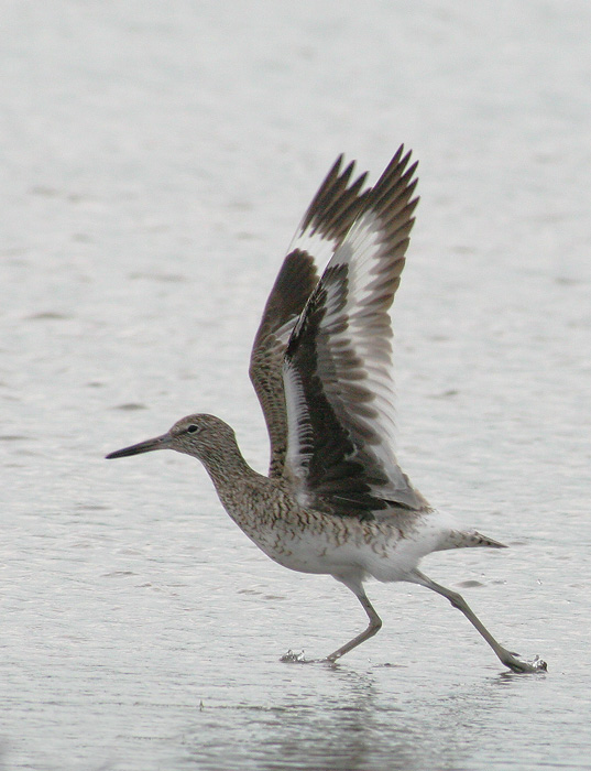 Willet, eastern, breeding plumage, 6/5/06, Sandy Point, West Haven, Connecticut