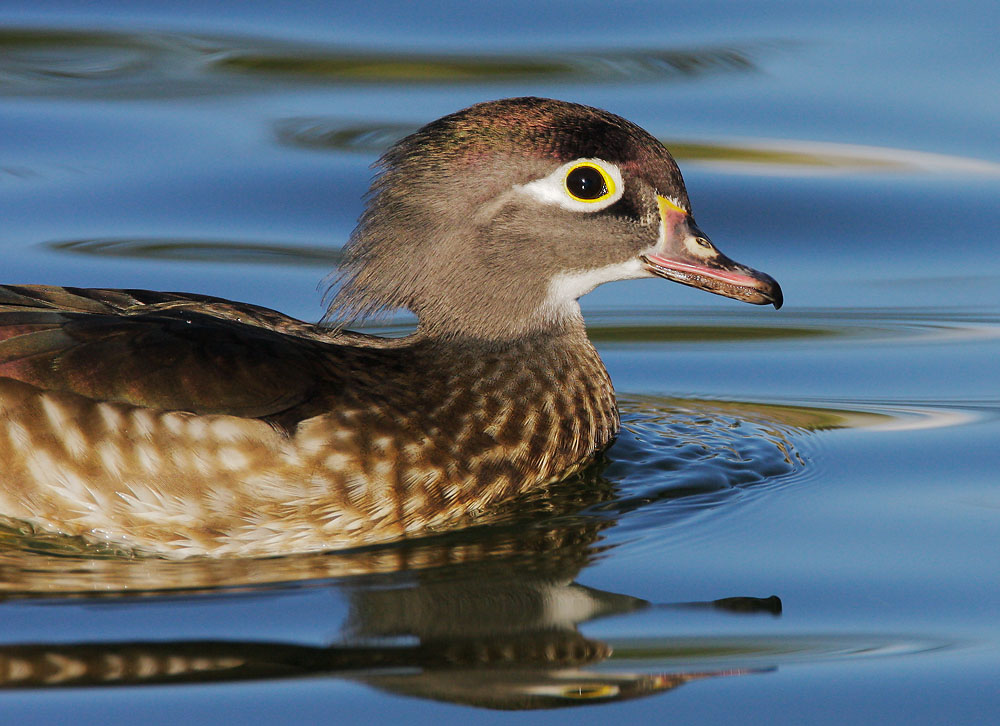 Wood Duck, female, 1/14/08, Santee Lakes, San Diego Co