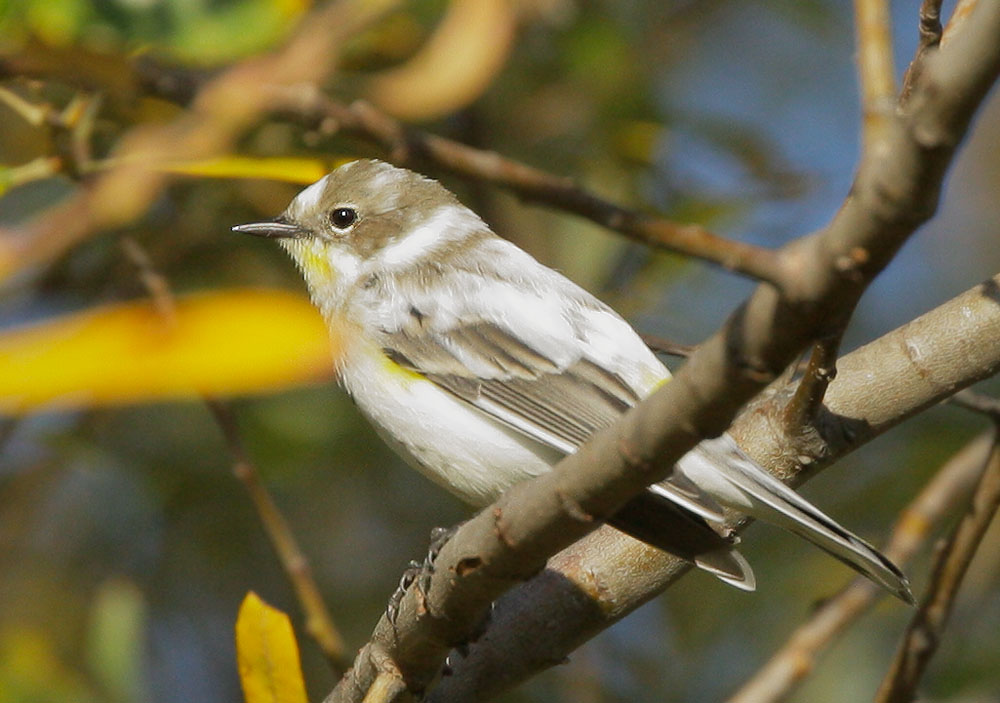 Yellow-rumped Warbler, leucistic