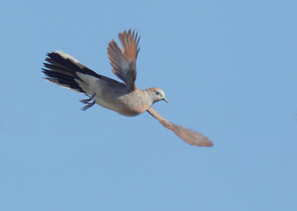 Zebra Dove, flying, 1/5/11, Puako, Big Island, HI